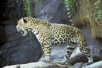 jaguar Guest Post: Costa Rican Wild Cats