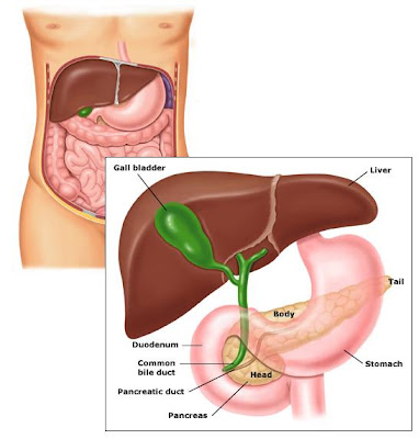 common bile duct anatomy. common bile duct anatomy.