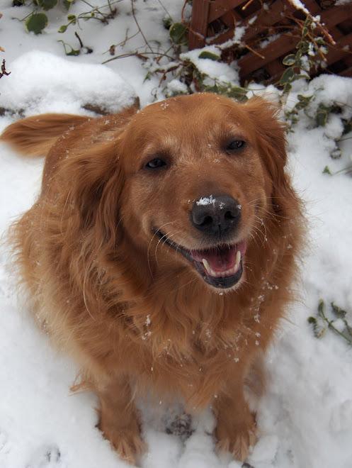 """My """"Noel Golden Belle"""" (our Ellie dog)"""