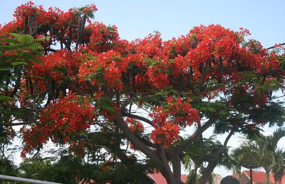 le blog de couleur vanille le flamboyant un arbre qui porte bien son nom. Black Bedroom Furniture Sets. Home Design Ideas