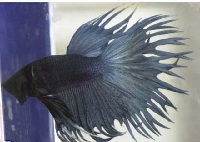 Ikan pelaga the fighting fish crown tailed betta for Crown betta fish