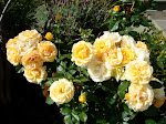 More Julia Child Roses
