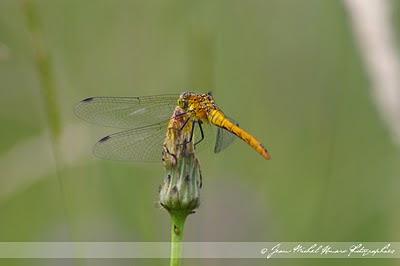 Une journée bénie des Dieux : Graciles créatures … dans Rhône (69) 2010_06_12_Sympetrum_sanguineum_f_01