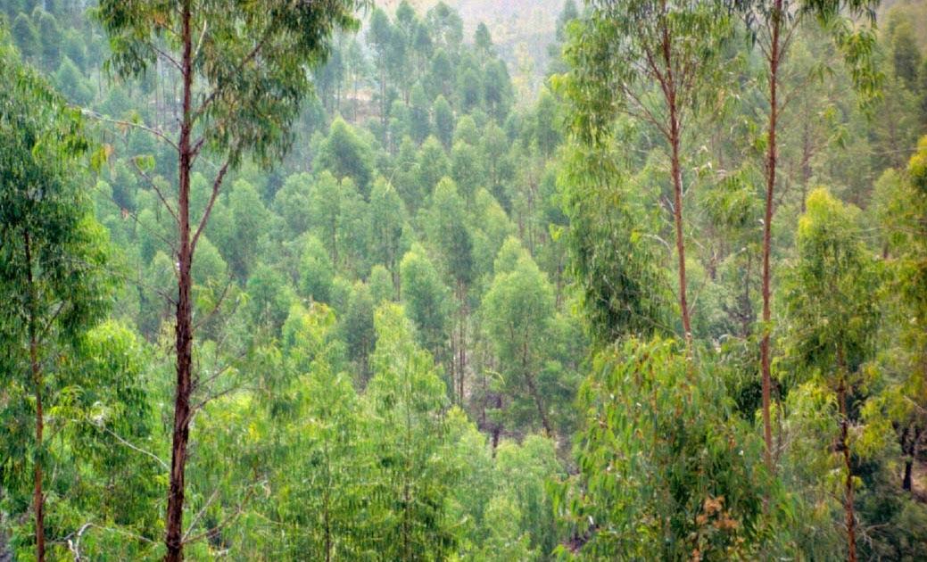 Eucalipto y eucalipteros el eucalipto en andaluc a datos - Informacion sobre el eucalipto ...