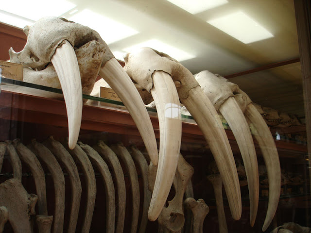 skulls and teeth of walrusses in Musée national d'Histoire naturelle Paris