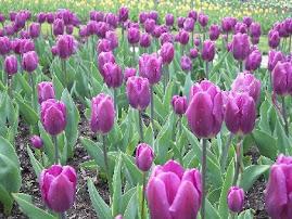 Tulipas ... quero mt em breve conhecer a Holanda e correr num campo repleto de tulipas ...