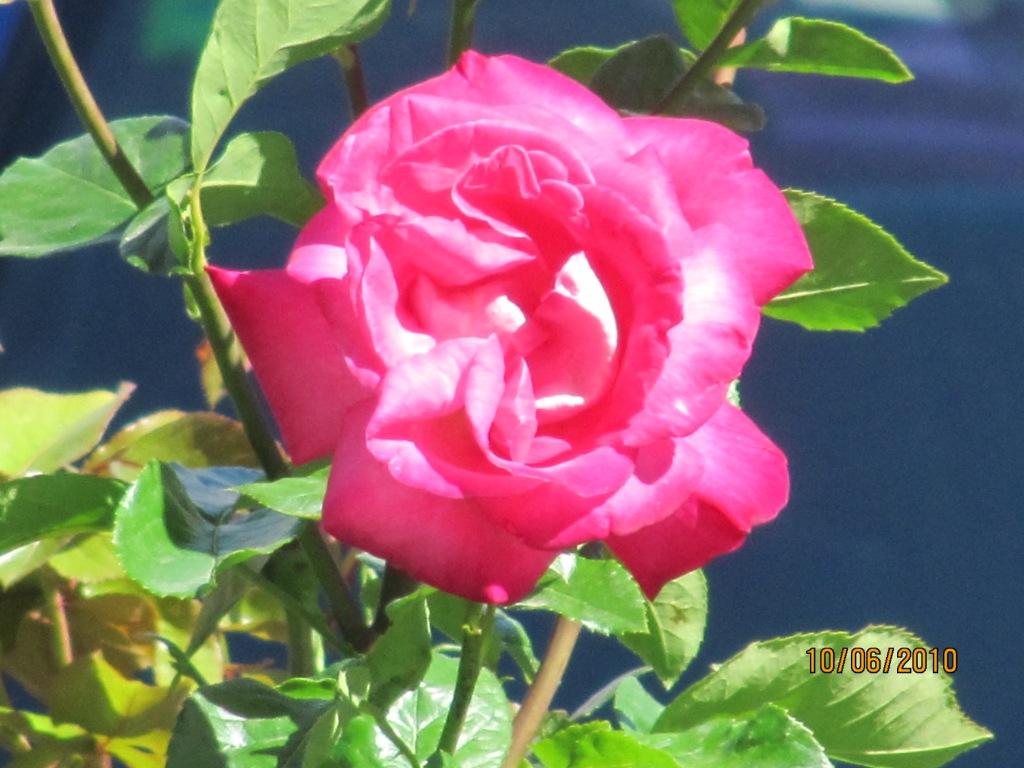 Culiblanco por francisco nieto las rosas flores y - Significado colores de las rosas ...