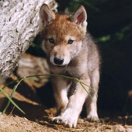 Extinción del lobo mexicano