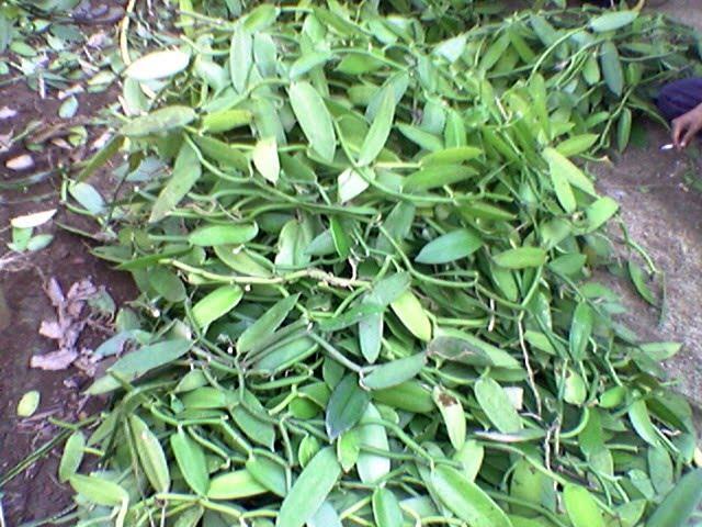 Batang panili/Anak vanilla
