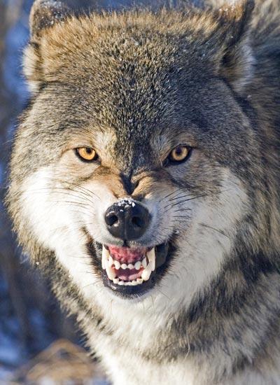 En arg varg blottar tänderna (för att visa att han har ett farligt vapen) och stryker bak öronen (för att skydda dem).