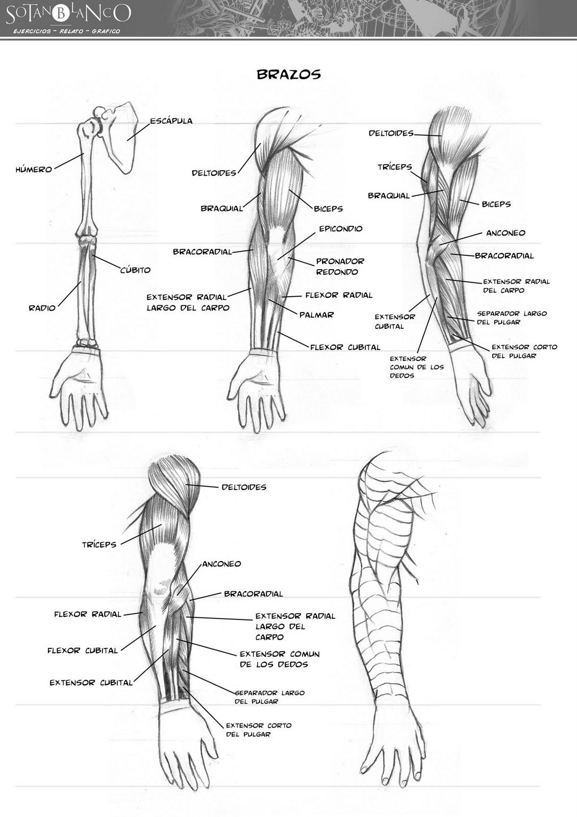 ejercicios: Anatomía (brazo)