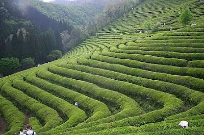 http://2.bp.blogspot.com/_tN21WEYq0k0/Sce3BOnsoeI/AAAAAAAAAMo/f3RZQafqhNQ/s400/ch%C3%A1+verde+-+planta%C3%A7%C3%A3o.bmp