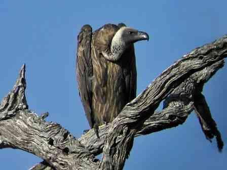 [vulture.jpg]