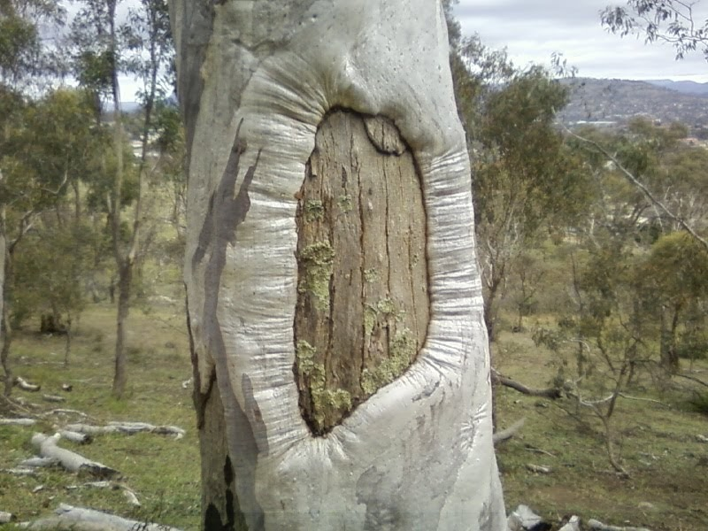 Dave s act red hill scarred tree