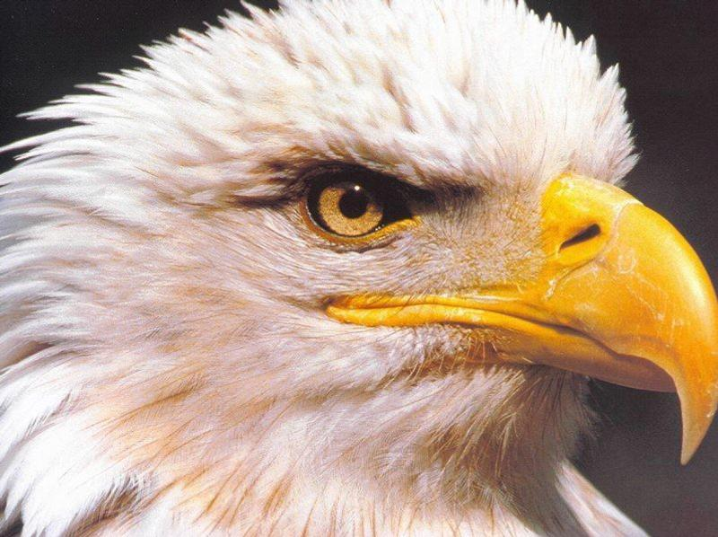 Eagle beak - photo#2