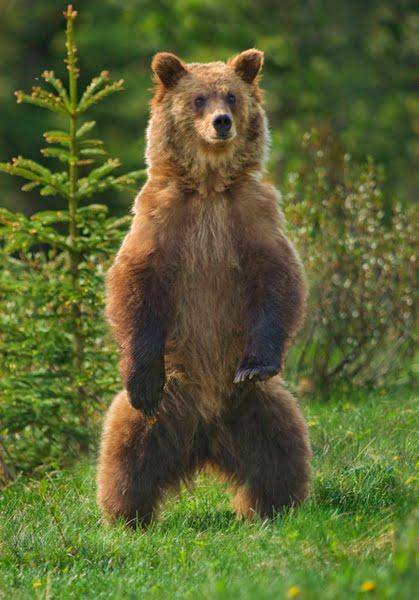 Falkenblog: Brown Bear...