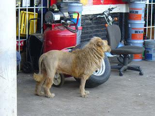 Cachorro disfarçado de leão