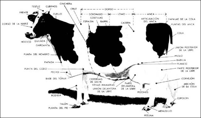 bovinos exterior bovino