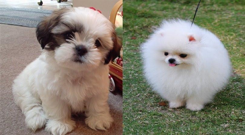 Shih Tzu or Pomeranian