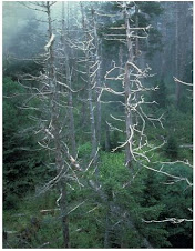 Κατεστραμμένα δέντρα λόγω όξινης