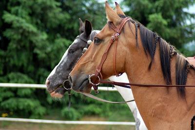Kostenlose pferdebilder f r bakgron
