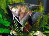 Miscellaneous l 39 acquario per pesci d 39 acqua dolce for Arredo acquario acqua dolce