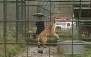 Washting Divorced Couple Refuses To Take Pet Siberian Tigers