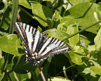 Zebra Swallowtail