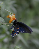 Pipevine Swallowtail Wings Together