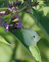 Cabbage White Wings Together