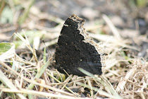 Mourning Cloak Wings Together