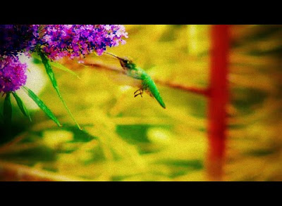Hummingbird feeding on a Butterfly Bush