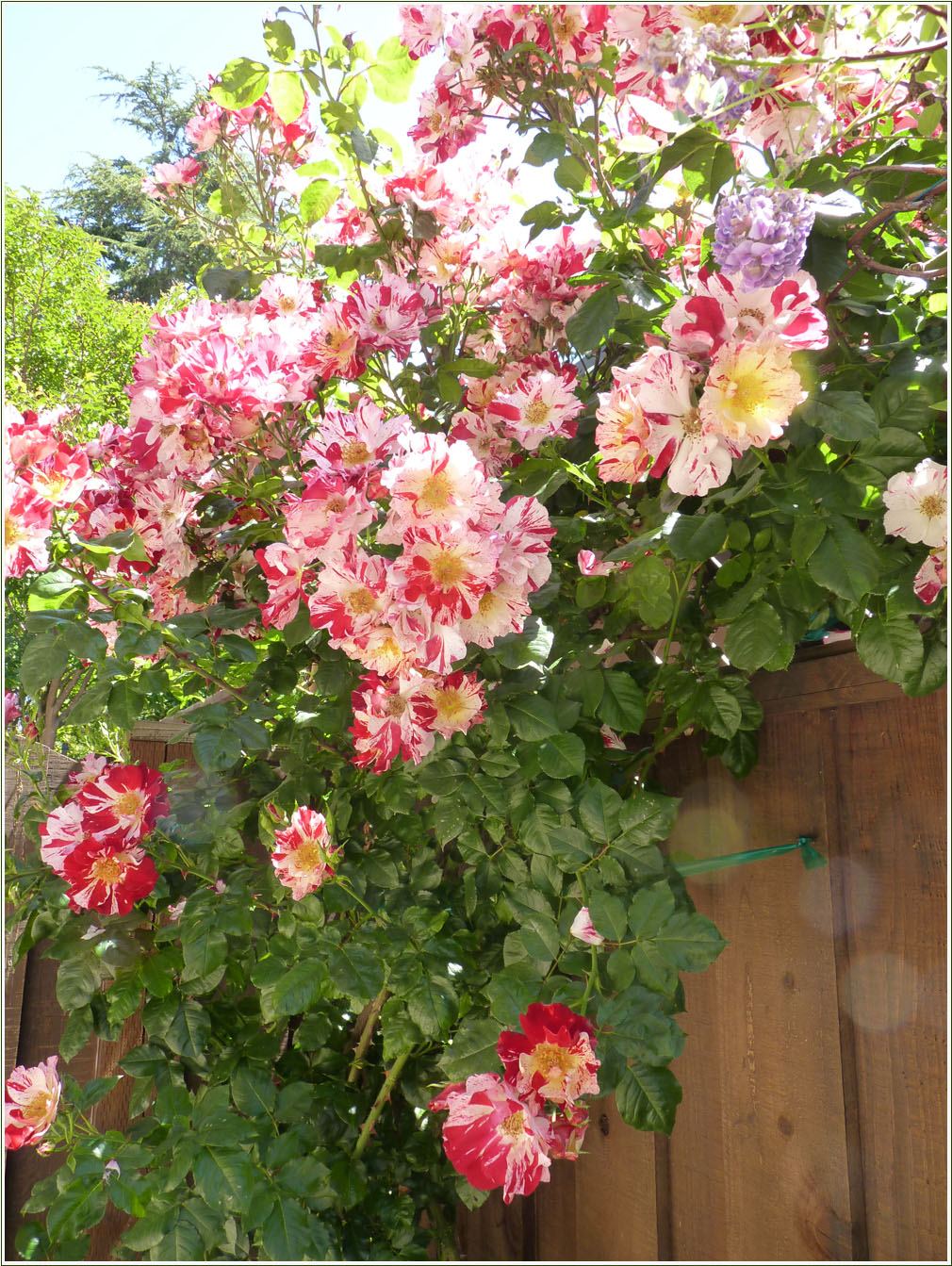 Beautiful rose gardens of the world - The Most Beautiful Climbing Rose In The Garden Is Trying With Great Success To Welcome Who Ever Go Through The Southern Gate To Our Garden