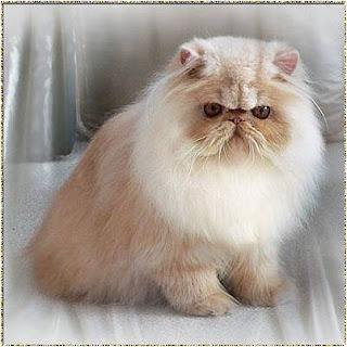 Fazmi House Warna Dan Corak Bulu Kucing Persia Sebagai