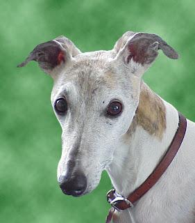 dog whippet pet kiwi birthday