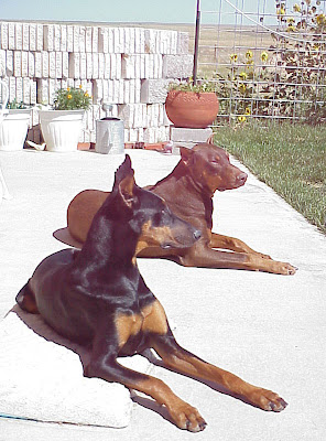 dogs doberman summer