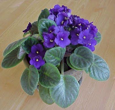 gnat violet plant bug