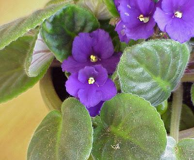 violet plant gnat