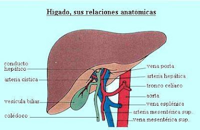 Dibujos imagenes biologia sistema aparato imagenes del for En k parte del cuerpo esta el higado