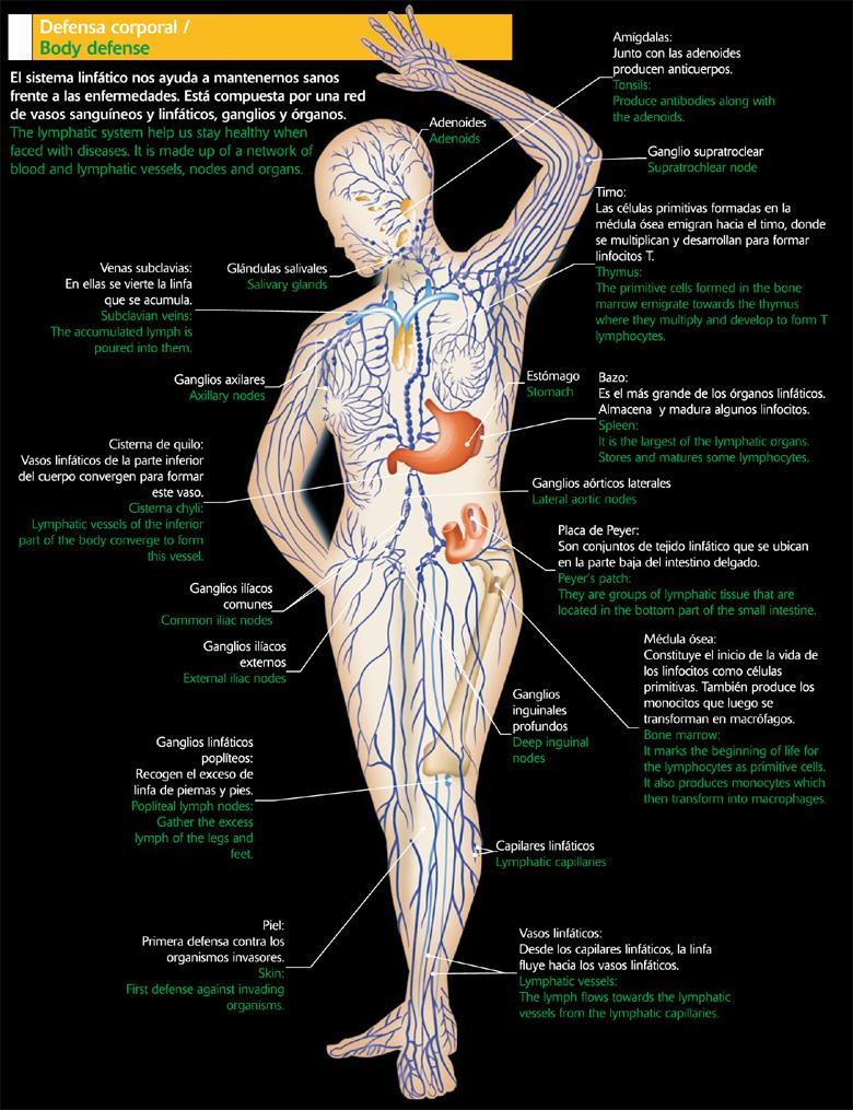Partes del cuerpo humano: DIBUJOS DEL SISTEMA LINFATICO