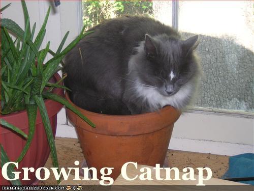 Growing Catnap