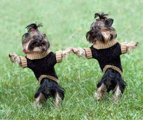 Two Sweater Dogs Dancing
