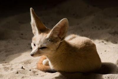zorro del desierto