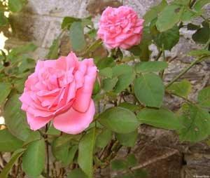 Ces roses pour toi