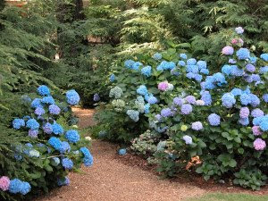 Charmant Central Texas Gardening Hydrangea (not Meant For Central TX Gardens)