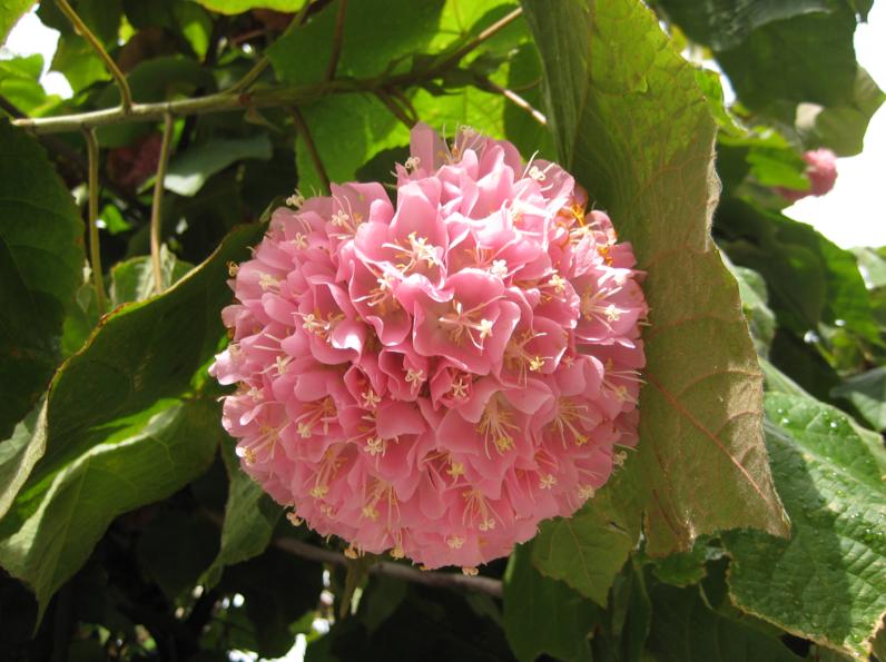 At Home At Home: Pink Snowball Tree