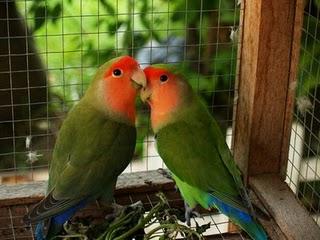 suara burung lovebird atau love bird saat ini banyak di