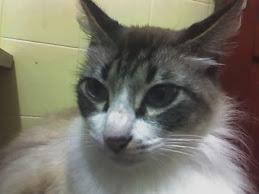 Isaac, nosso gato de seda