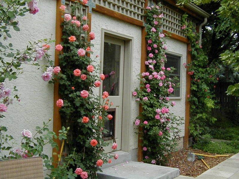 Rosegasms cold hardy climbing roses - Climbing rose trellis ...