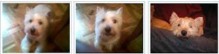 cementerio mascotas westy perra